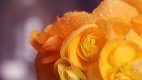 Begonia blossom with water drops. Macro of a beautiful yellow begonia blossom Royalty Free Stock Photos