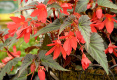 Begonia boliviensis. With bright red flowers Royalty Free Stock Image