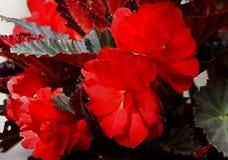 Begonia Bouquet Fotografering för Bildbyråer