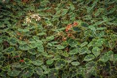 Begonia Bowerae Stock Image