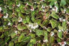 Begonia Bowerae Stock Photography