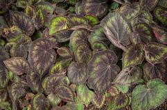 Begonia Bowerae Stock Photo