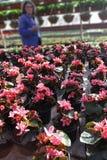 begonia Campo con las begonias coloreadas Flores de la primavera y del verano Campo de flores Modelo floral Foto de archivo