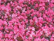 Begonia carpet. Lot of pink begonia blossoms Royalty Free Stock Photos