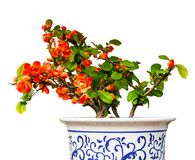 Begonia(Chaenomeles or Chinese flowering crab apple ) bonsai Stock Photography