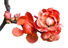 Begonia(Chaenomeles or Chinese flowering crab apple )on the white background. Royalty Free Stock Image