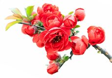 Begonia(Chaenomeles or Chinese flowering crab apple )on the white background. Royalty Free Stock Photography