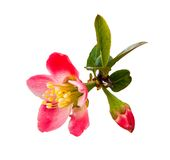Begonia(Chinese flowering crab apple )on the white background. Stock Images