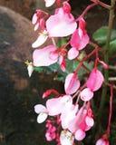 Begonia cleopatra fotografia stock