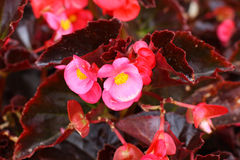 Begonia Royalty Free Stock Image