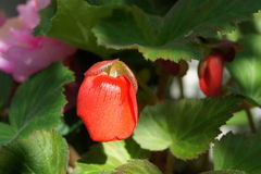 Begonia Close upp Arkivfoto