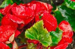 Begonia Close upp Arkivfoton