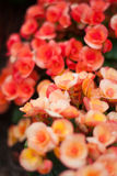 Begonia. Closeup vertical image of begonia flowers Stock Image