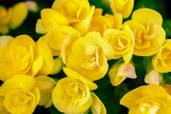 Begonia. Closeup of yellow begonia flowers Royalty Free Stock Photos