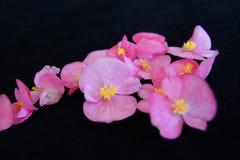 Begonia Cluster rosa fotografie stock