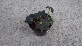 Begonia de Rex Foto de archivo libre de regalías