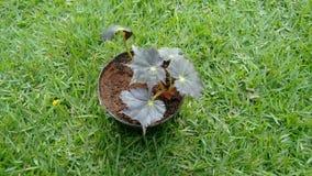 Begonia de Rex Imágenes de archivo libres de regalías