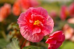 Begonia de Tuberos Imagenes de archivo