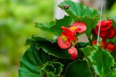 Begonia del Rad Fotografía de archivo libre de regalías