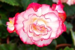Begonia den mycket härliga vit-rosa färger blomman Royaltyfri Foto