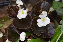 Begonia di bianco della foglia incerata pieno sole fotografie stock