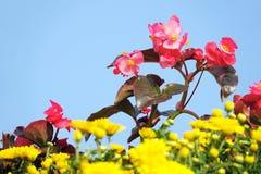Begonia di vetro Fotografia Stock
