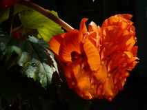 Begonia dopo la pioggia fotografia stock