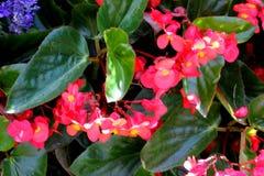 Begonia `Dragon Wing Red`, Red Cane Begonia Royalty Free Stock Image