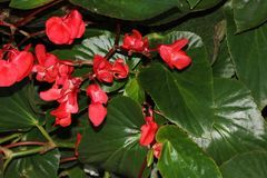 Begonia `Dragon Wing Red`, Red Cane Begonia Stock Photography