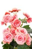 Begonia elatior Royalty Free Stock Images