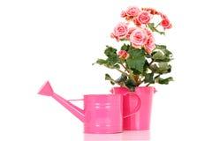 Begonia elatior Stock Photos