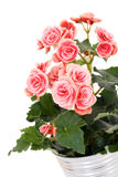 Begonia elatior Stock Photos