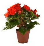 Begonia Elatior gemengd Royalty Free Stock Images