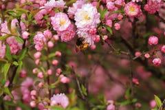 Begonia en bijen Stock Foto's