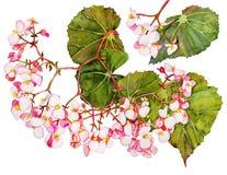 Begonia en flor stock de ilustración