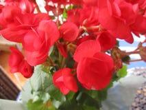 Begonia en luz Imagen de archivo