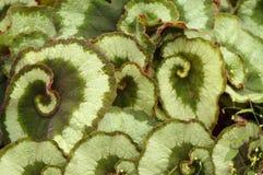 Begonia Escargot στοκ φωτογραφία