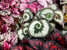 Begonia Escargot royaltyfri foto