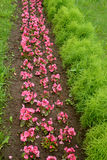 Begonia ever flowering and a bassiya (kokhiya) coronal grow in a garden Royalty Free Stock Photos