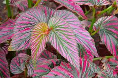 Begonia exotica Royalty Free Stock Photos