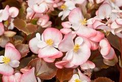 Begonia fibrosa Immagine Stock