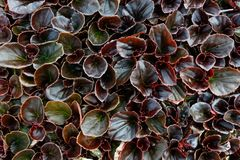Begonia Fibrous Plants. Nature background top view Stock Image