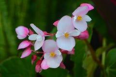 Begonia floreciente rosada Imágenes de archivo libres de regalías