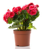Begonia flower. Begonia isolated flowers in pots Royalty Free Stock Photos