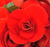 Begonia flower Royalty Free Stock Image