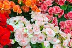 Begonia flower background Royalty Free Stock Images