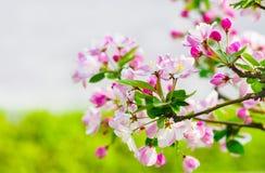 Begonia flower. The blooming begonia flowers in spring Royalty Free Stock Photo