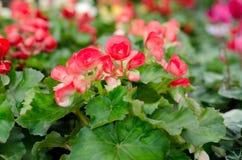 Begonia flower Royalty Free Stock Image