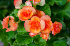 Begonia flower Royalty Free Stock Photography