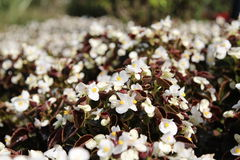 Begonia flower Royalty Free Stock Photos